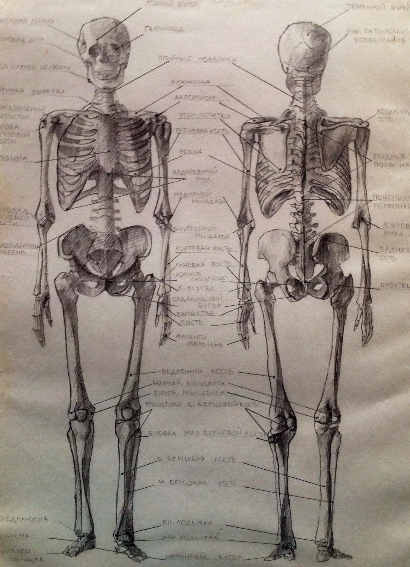 Рисунок скелета человека в карандаше